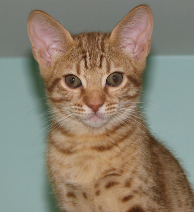Cinnamon Ocicat coat color