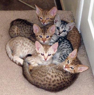 cosmic spots ocicats ocicat kittens for sale year round breeder of