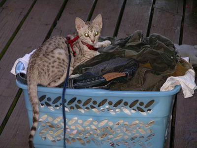 Coat Color Chocolat Silver Ocicat Kitten