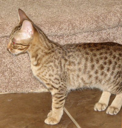 Coat Color Chocolat Ocicat Kitten