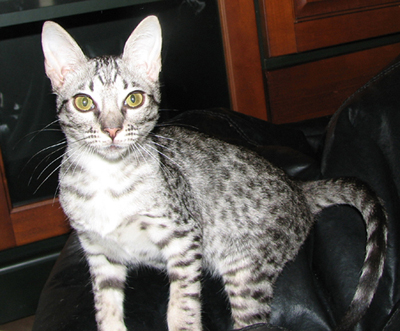 Coat Color Ebony Silver Ocicat Kitten