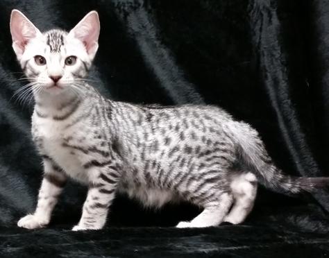 Ebon Kittens All Round Fervency