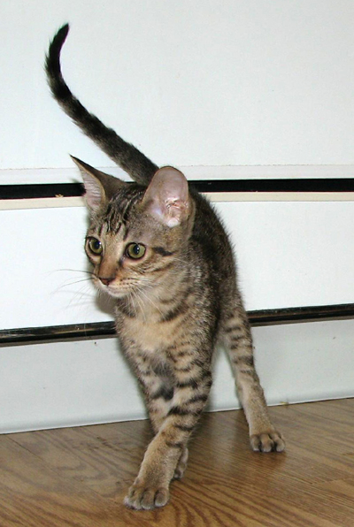 Coat Color Tawny Ocicat Kitten